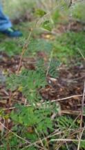 Very Small Mesquite Tree