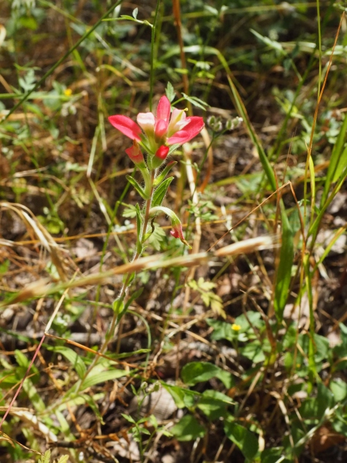 Texas Native Indian Paintbrush